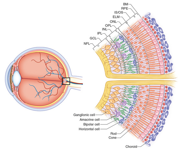 Normal Retinal Anatomy The Retina Reference